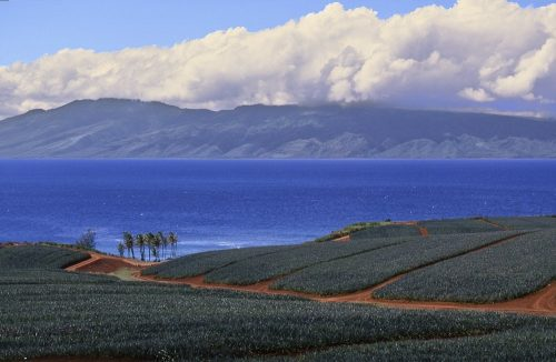 Horizontal landscape scene on the island of Maui, Hawaii. Taken from the top of a hill, the photo provides a sweeping view of pineapple fields in the foreground and the island of Molokai on the distant horizon. Five distinct horizontal bands stripe across the image. Deep green pineapple fields, interlaced with terracotta colored access roads, comprise the lower third of the photo. Six tall palm trees form a tight cluster on the edge of the fields in the left third of the image half a mile away. Above the pineapple fields the blue Pacific Ocean, freckled by occasional tiny whitecaps, forms the straits between Maui and Molokai. In the upper third of the image, Molokai's bluish-gray mountains—the world's highest sea cliffs—rise from the ocean to reach an altitude of over 3,000 feet. Thick white cumulous clouds hover at the crest of the mountain ridgeline. Light blue sky forms the final band of color at the top of the photo.