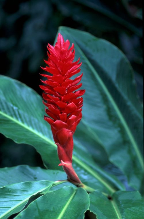 A BRIGHT RED torch ginger bloom fills the center of this vertical image, surrounded by dark green foliage.