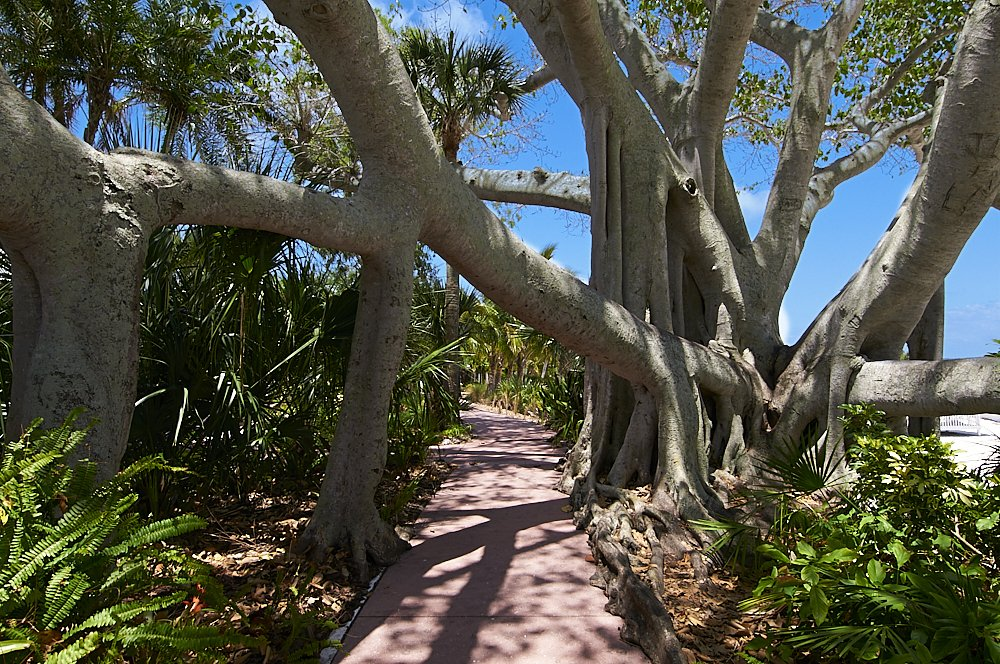 Landscape photo of a pink brick walkway on Useppa Island, Florida. The walkway fills the lower center third of the image and disappears to the horizon at the center. A large tree trunk—the dominant subject—fills the frame on the right side of the image. Its huge, trunk-like branches extend up off the top of the photo and out horizontally off both the left and right side of the image. On the left side of the image two additional trunks support the heavy branches that extend over the walkway. This network of thick branches and multiple trunks forms an angular arch over the walkway. Deciduous tree leaves and palms stretch across the top of the photo. Blue sky appears through the branches and between the leaves. Green ferns and foliage fill the left and right side of the walkway, which is deserted.
